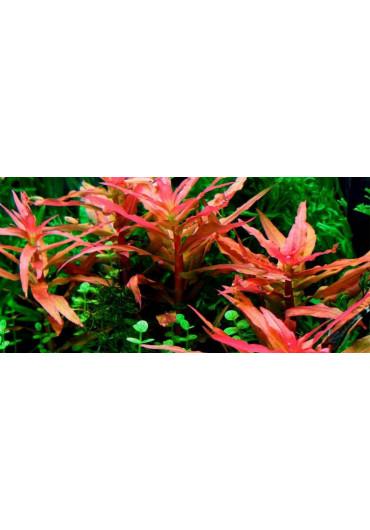 Ammania gracilis - A.A. steril