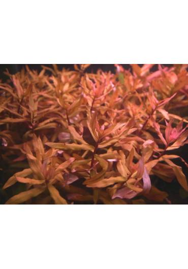Ammania senegalensis A.A. steril