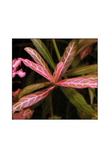 Hygrophila polysperma 'Sunset' - A.A. steril