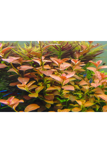 Ludwigia ovalis - A.A. steril