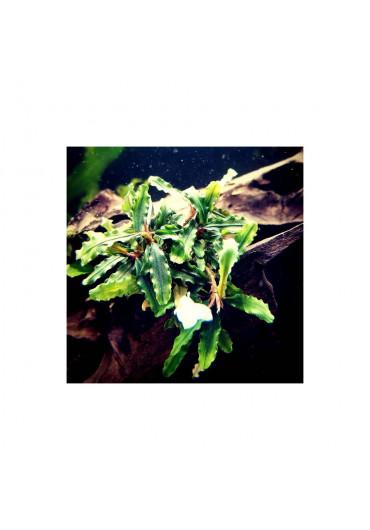 Bucephalandra sp. 'Aqua Artica' - AA steril