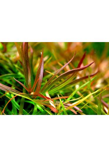 Ludwigia brevipes - A.A. steril