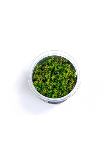 Myriophyllum aquaticum - A.A. steril