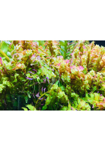 Rotala sp.'Pearl' - A.A. steril