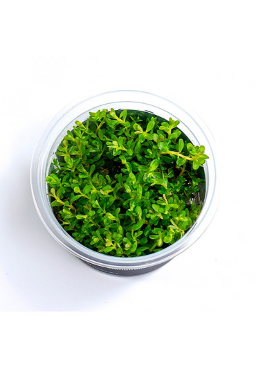 Rotala sp. green - A.A. steril