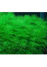 Bacopa myriophylloides - A.A. steril