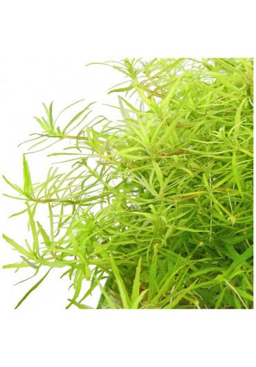 Limnophila sp vietnam - A.A. steril