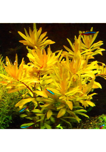 Nesaea Gold - A.A. steril