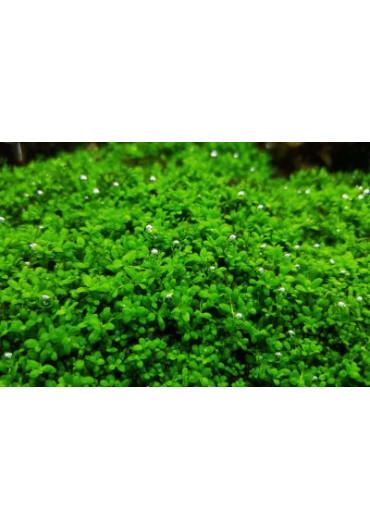 """Hemianthus callitrichoides """"Cuba"""" - HL steril"""