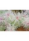 Ludwigia inclinata 'white' - HL steril