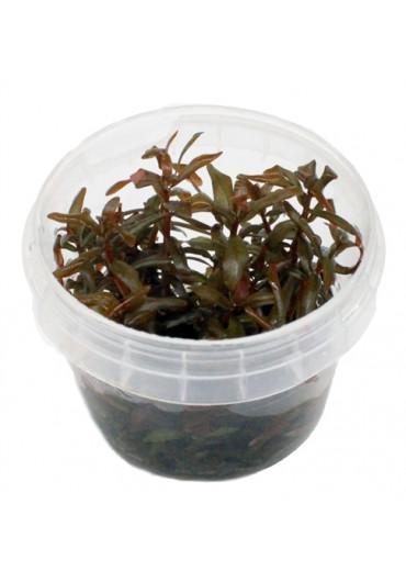Ammannia senegaliensis - HL steril
