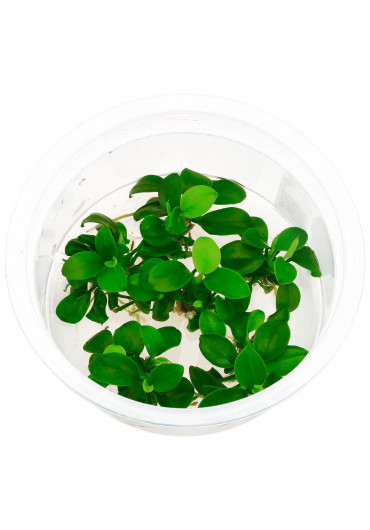 Anubias nana 'mini' - HL steril