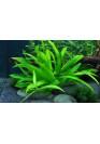 Echinodorus bolivianum quadricostatus - HL steril