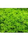 Micranthemum 'Monte Carlo' - HL steril