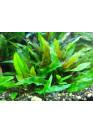 Cryptocoryne wendtii 'Hellgrün' - AquaLine TF