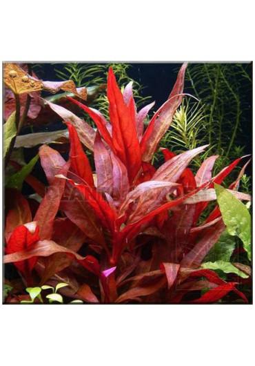 Alternanthera rosaefolia - AquaLine TF