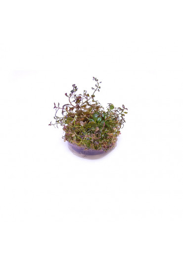 Ludwigia Super red - TF steril