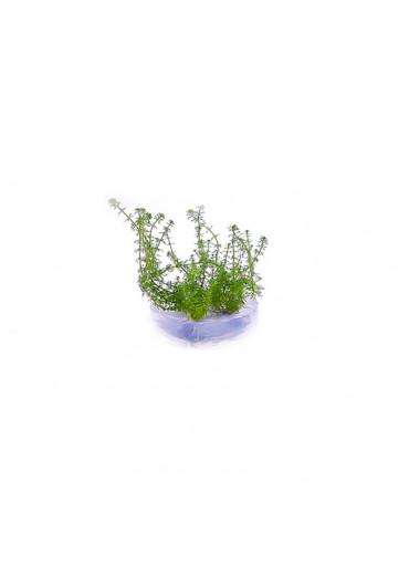 Myriophyllum 'Guyana' - TF Steril