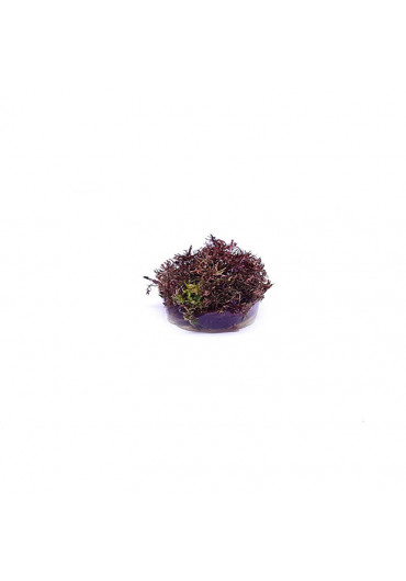 Rotala macrandra Mini Butterfly - TF Steril
