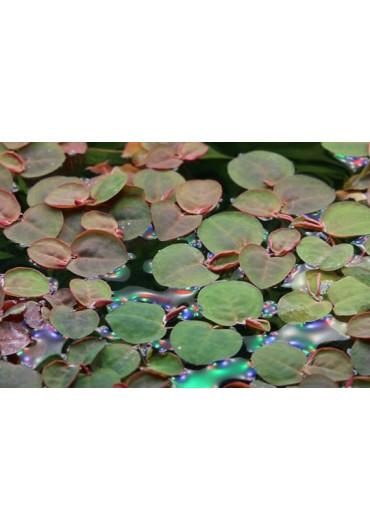 Phyllanthus fluitans - TF dobozos