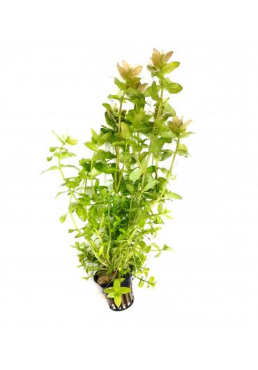 Bacopa caroliniana - AquaLine TF