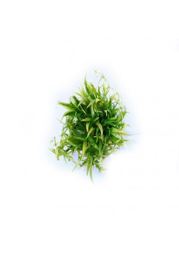 Echinodorus grisebachii - TF steril