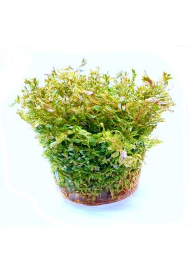 Rotala 'green' - TF Steril