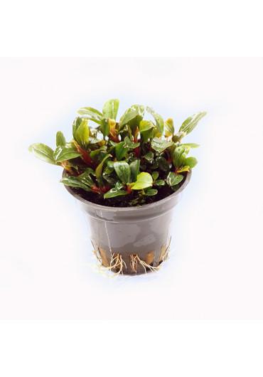 Bucephalandra 'Wavy Green' - TF cserepes