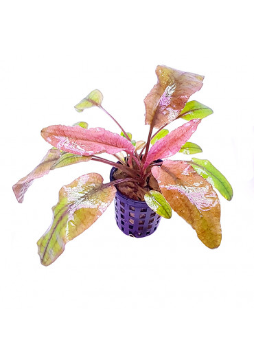 Cryptocoryne 'flamingo' - TF cserepes