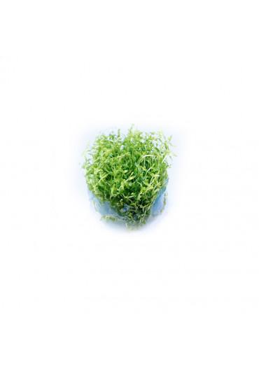 Gratiola viscidula - TF steril