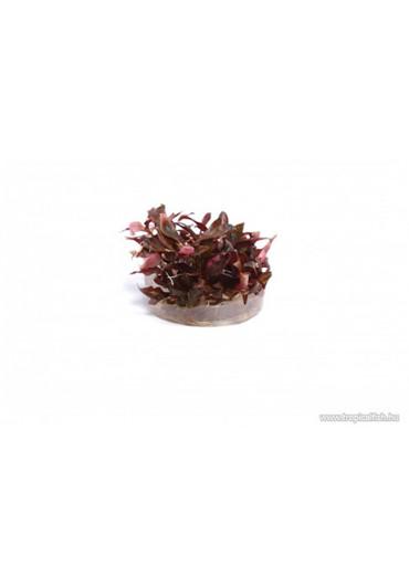 Alternanthera reineckii 'Mini' - TF Steril