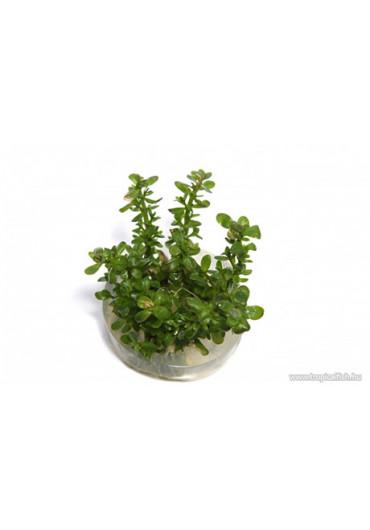 Rotala 'bonsai' - TF Steril