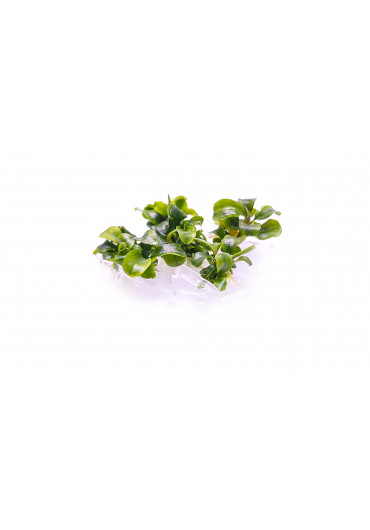 Bucephalandra spec. green mini - TF Steril