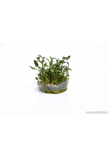 Cryptocoryne parva - TF Steril