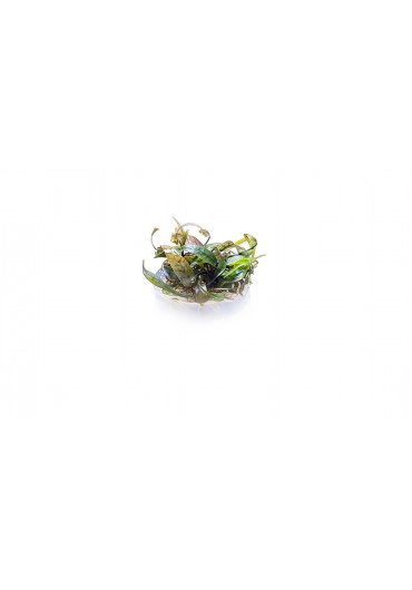 Cryptocoryne cordata rosea - TF Steril