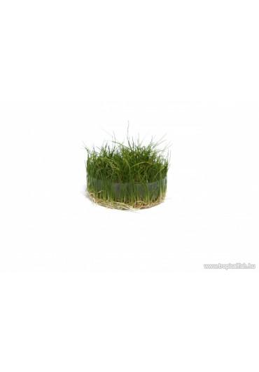 Eleocharis acicularis 'Mini' /Parvula/ - TF Steril
