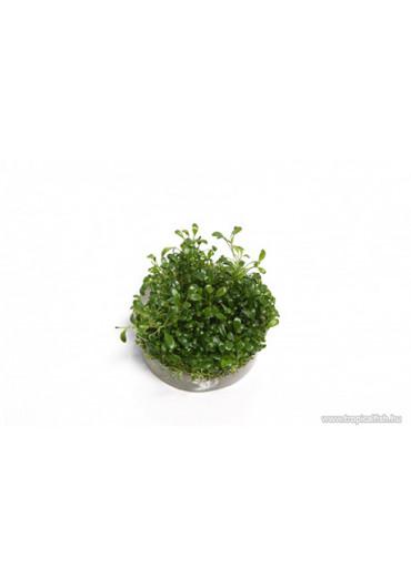 Glossostigma elatinoides - TF Steril