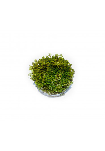 Hemianthus micranthemoides - TF Steril