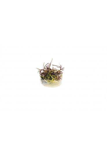 Hygrophila 'Araguaia' - TF Steril