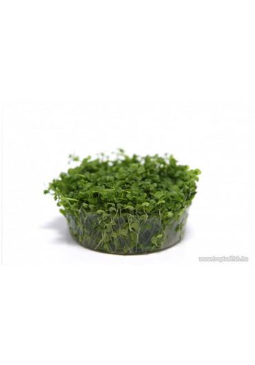 Micranthemum 'Monte Carlo' - TF Steril