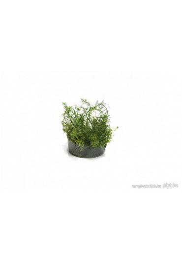 Myriophyllum mattogrossense - TF Steril