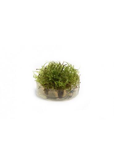 Vesicularia Dubyana Christmas moha - TF Steril