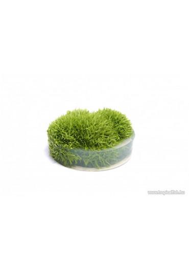 Utricularia graminifolia - TF Steril
