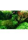 Blyxa japonica TF AquaLine