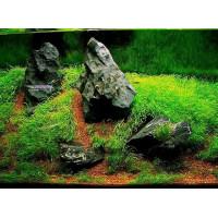 Utricularia graminifolia-s akváriumunk