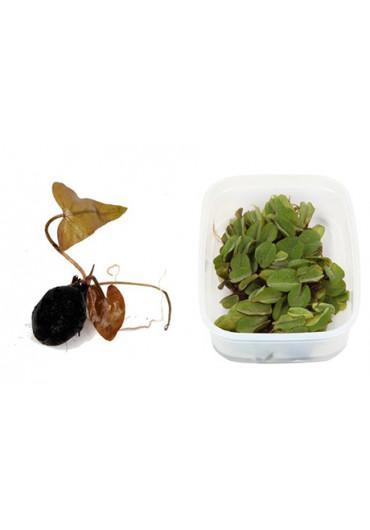 Gumós, úszó és dobozos növények