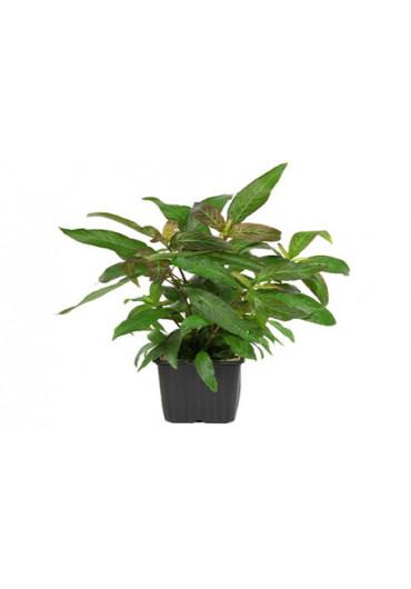 XL-es növények