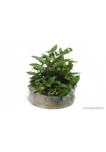 Steril növények