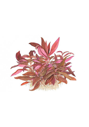 Alternanthera reineckii 'Mini' - Tropica steril
