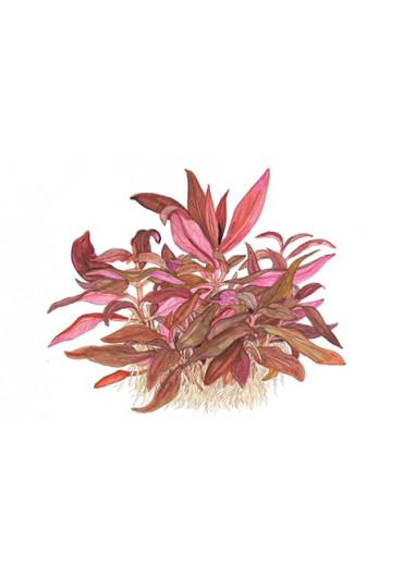 Alternanthera reineckii 'Mini' - Tropica steril